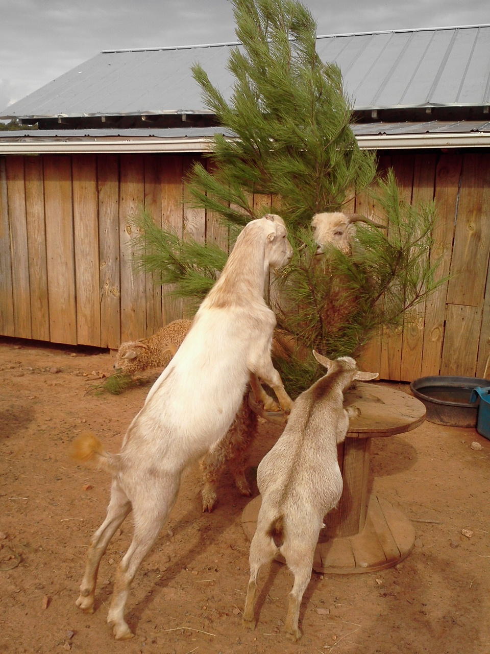 How the Goats Ate Their Christmas Tree
